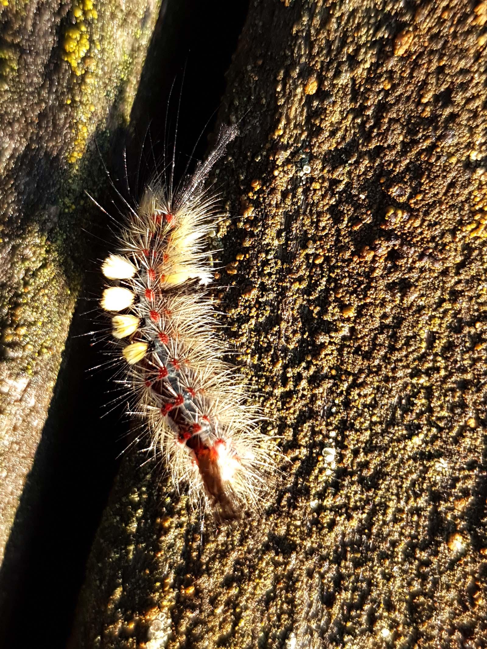 Schlehenbürstenspinner (Orgyia antiqua)