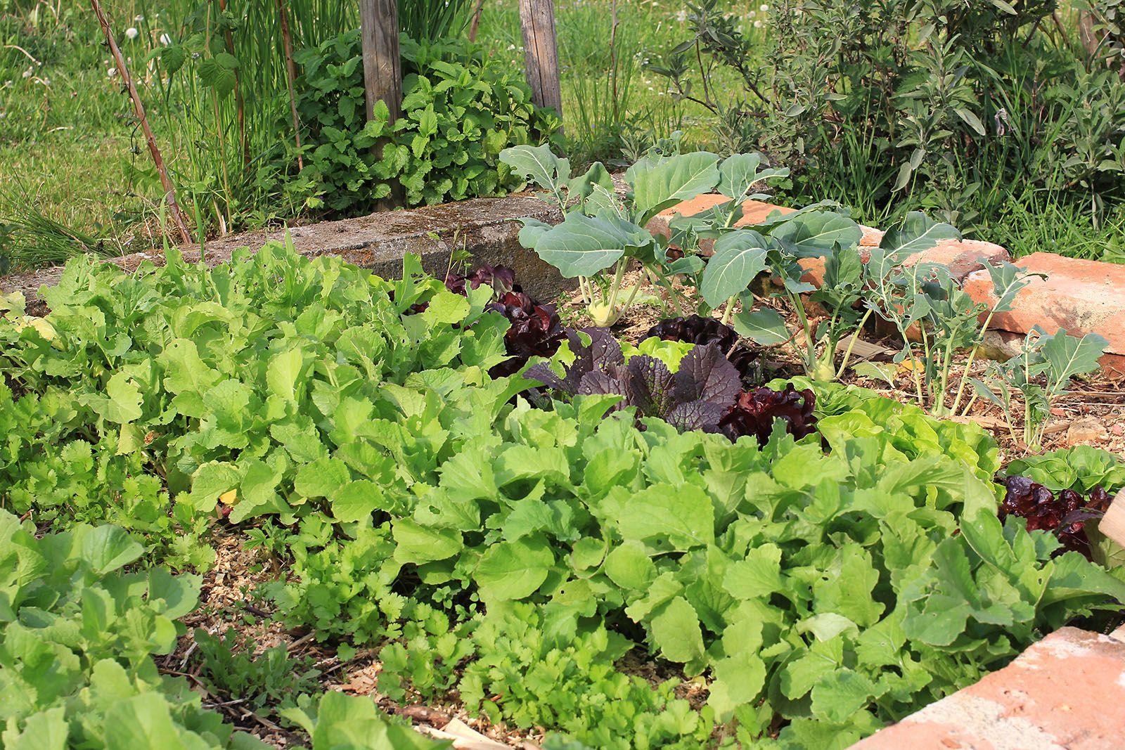 Salat-/Gemüsebeet mit Mulch aus Holzhackschnitzeln
