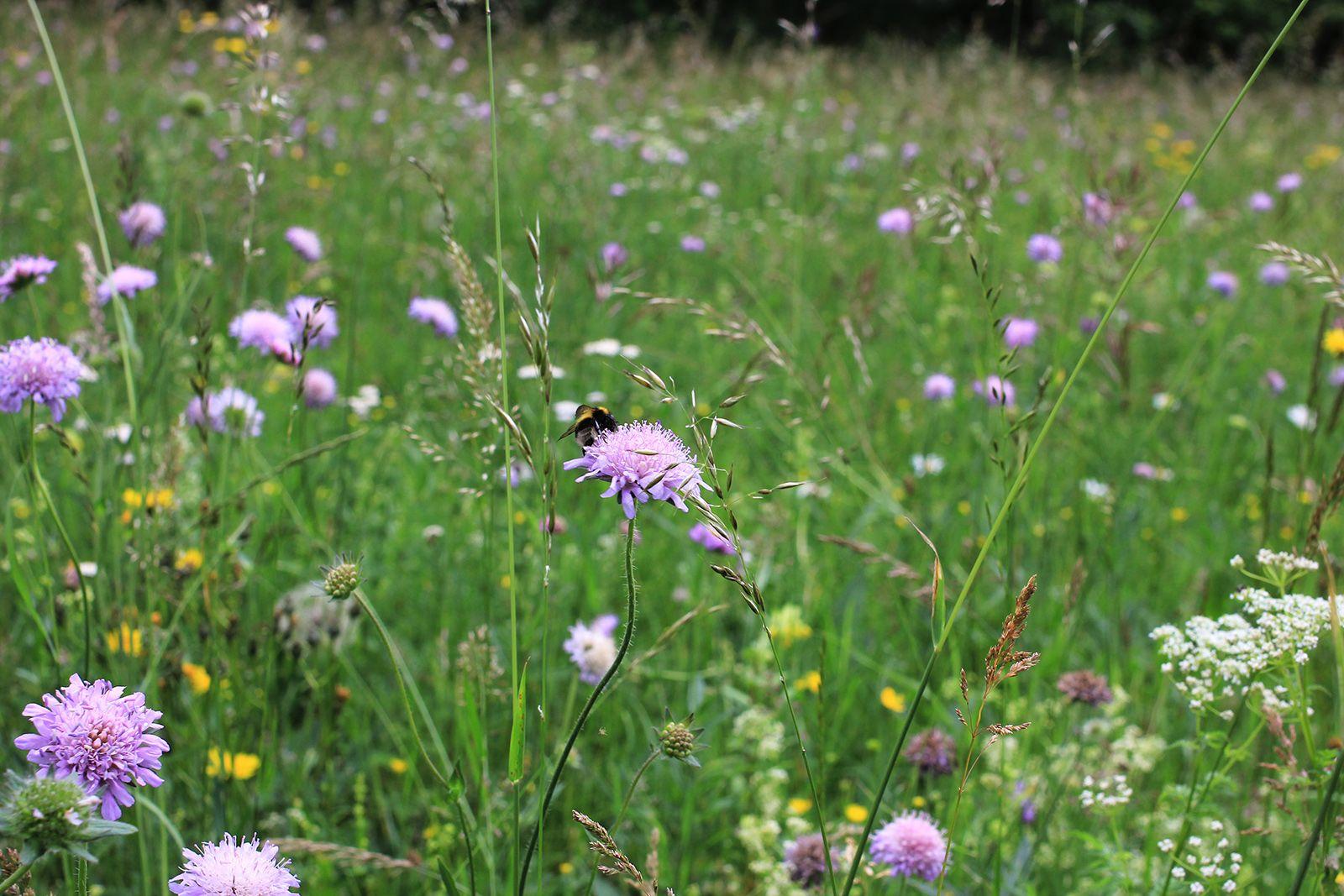 Acker-Witwenblume (Knautia arvensis)
