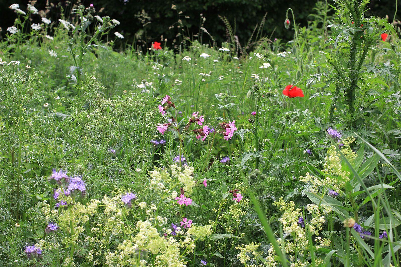 Blumenwiese mit Wiesen-Labkraut, Roter Lichtnelke, Klatsch-Mohn