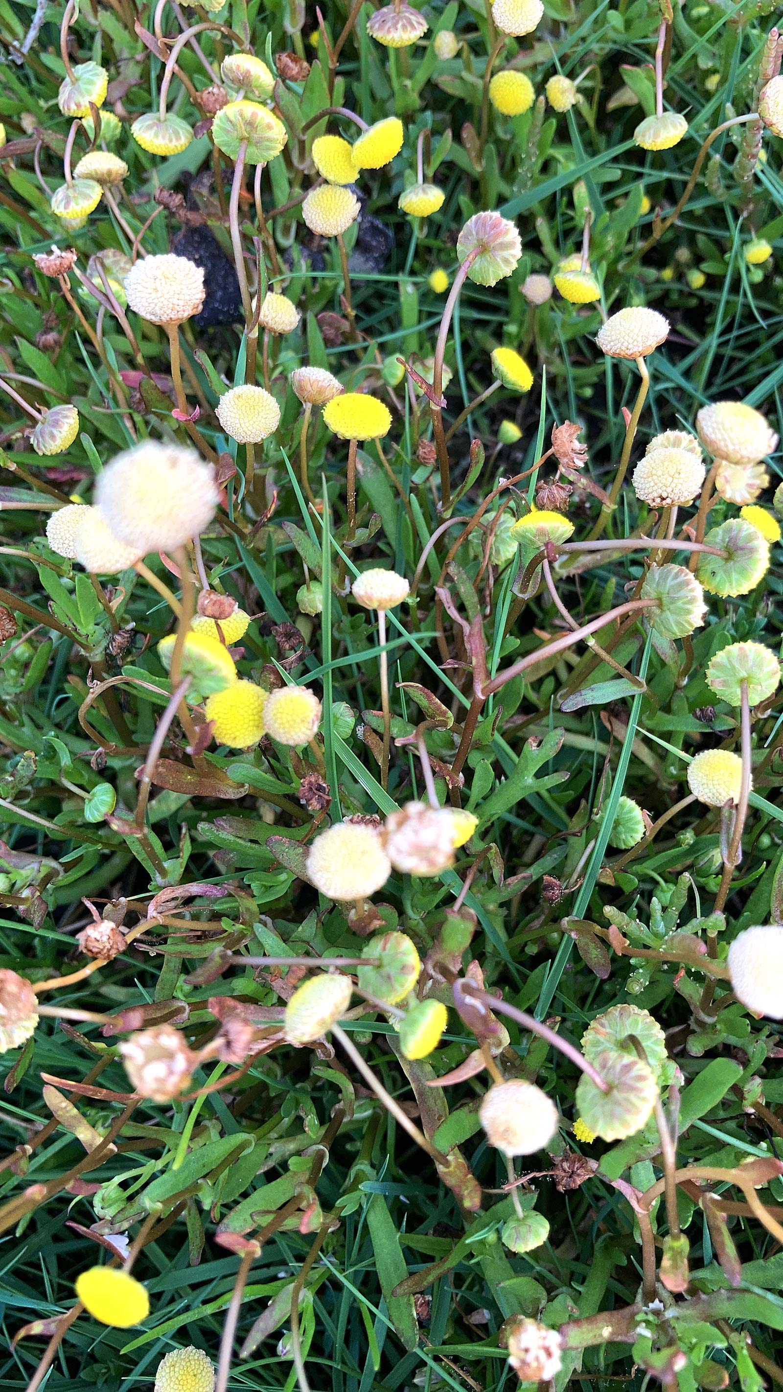Krähenfuß-Laugenblume-(Cotula-coronopifolia)