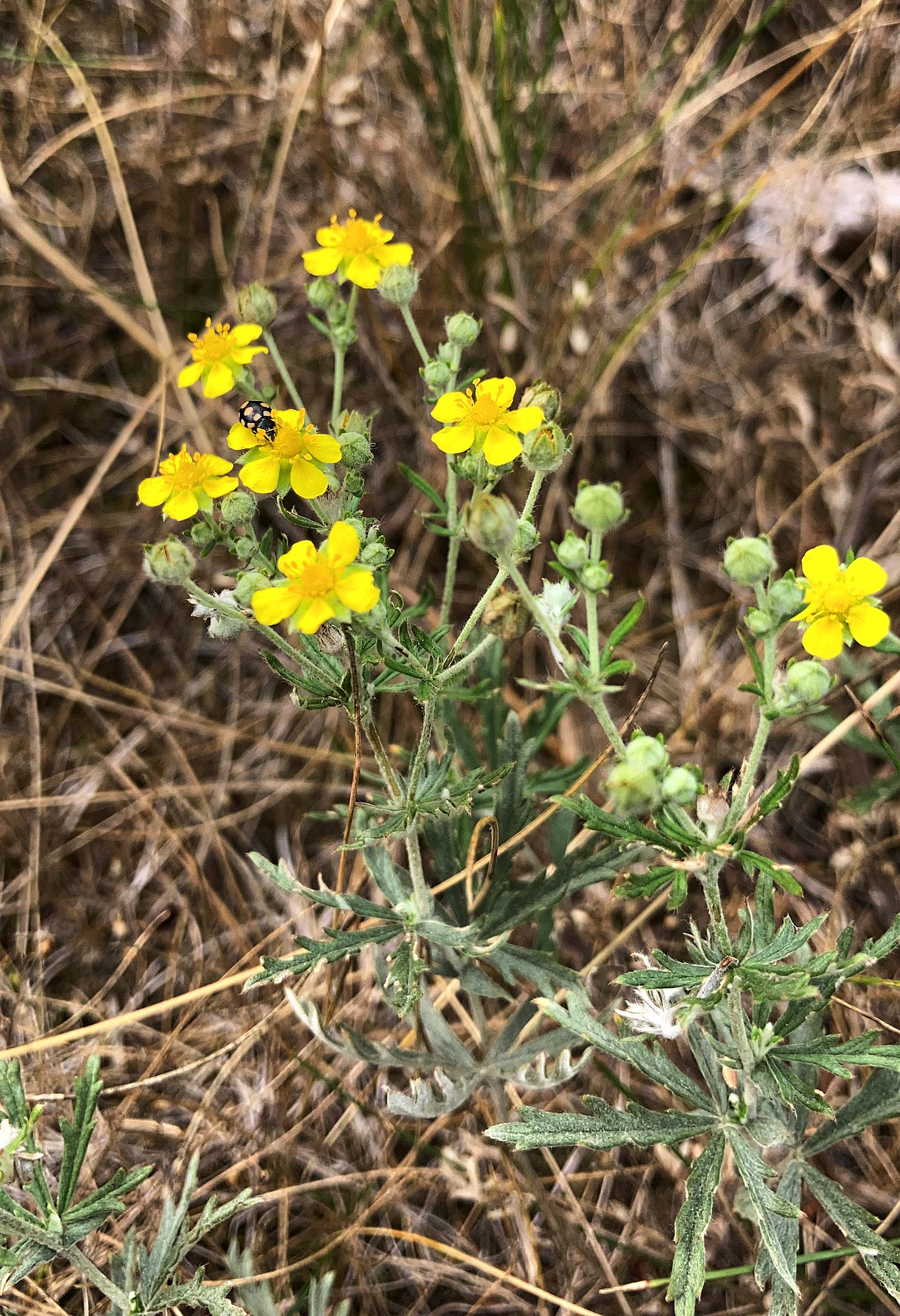 Silber-Fingerkraut (Potentilla argentea) mit Trockenrasen-Marienkäfer (Coccinula quatuordecimpustulata)