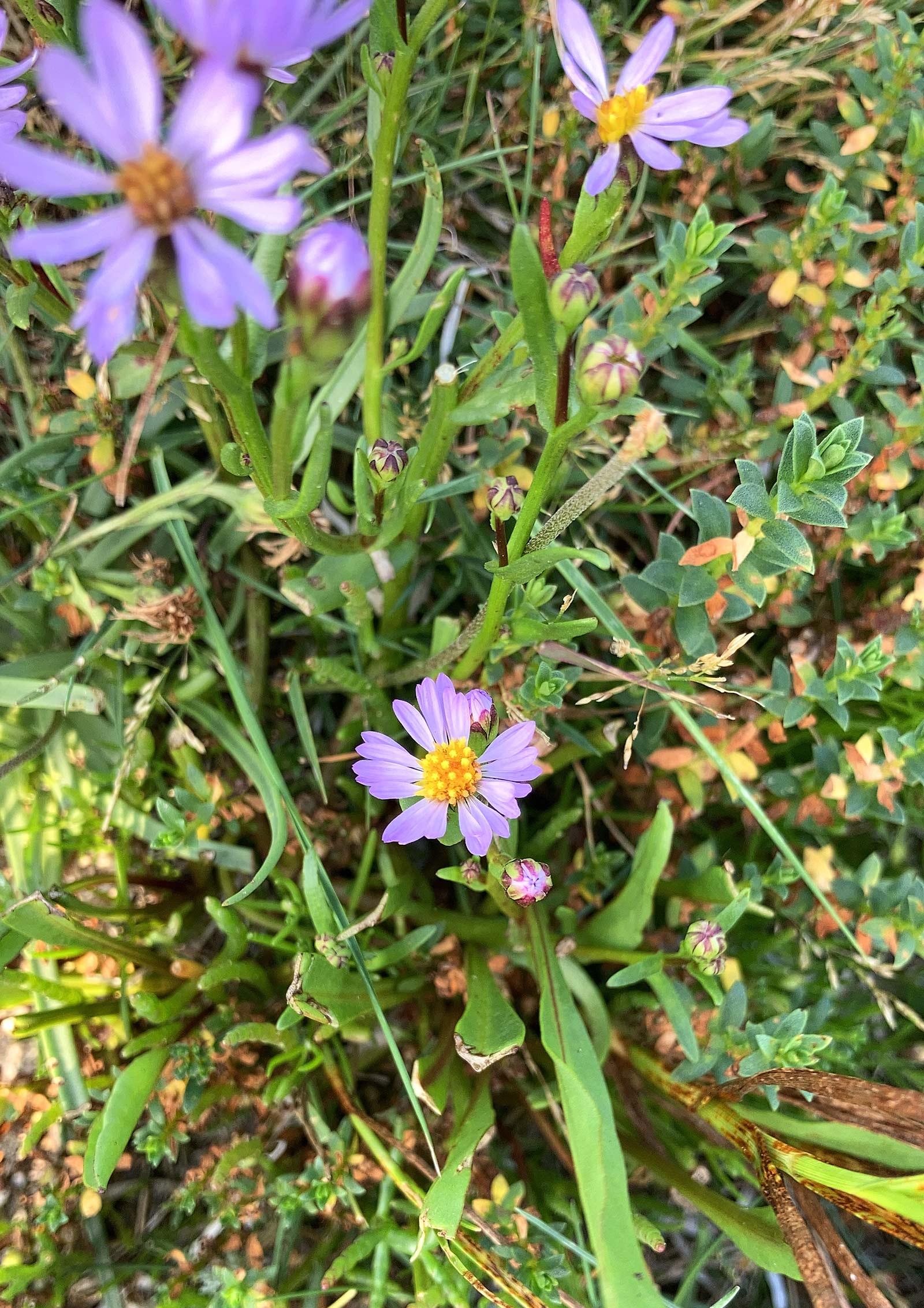 Strand-Aster-(Tripolium-pannonicum)image00016.jpeg