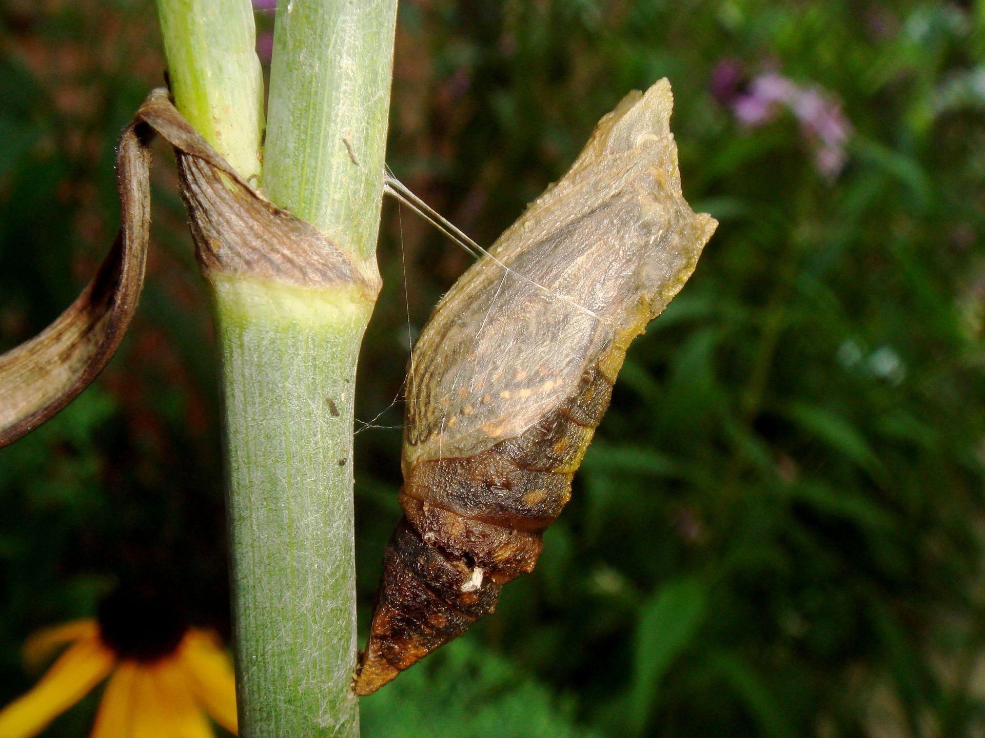 Schmetterlingskokon