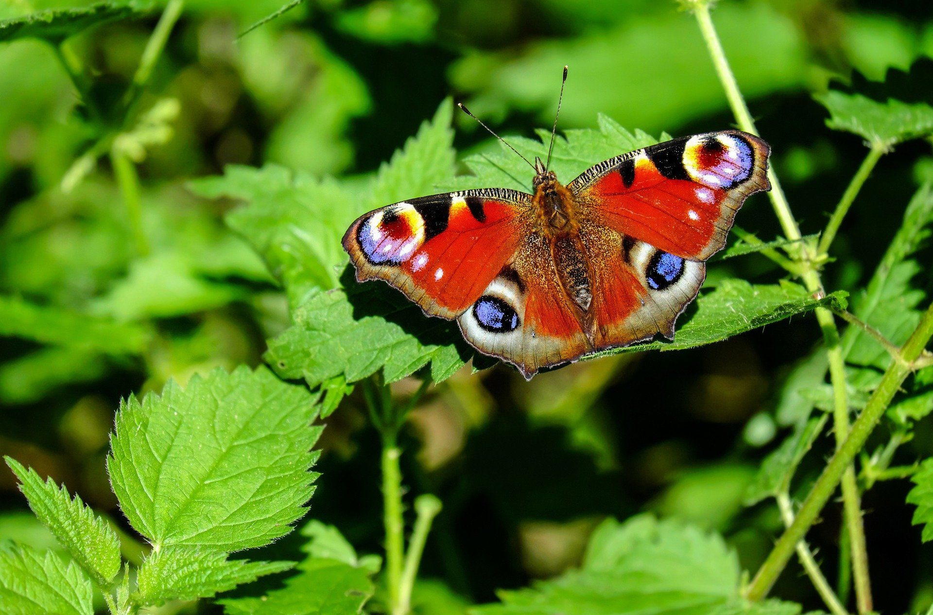 peacock-butterfly-1655724_1920.jpg
