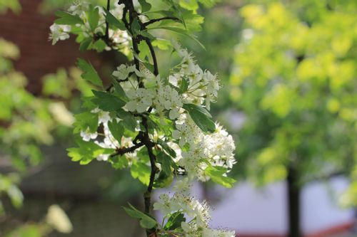 Weißdornblüte  (Crataegus monogyna)