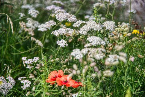 Blumenwiese mit Schafgarbe, Klatschmohn, Hornklee, Taubenkropf-Leimkraut Foto: Gabriele Lässer, pixabay