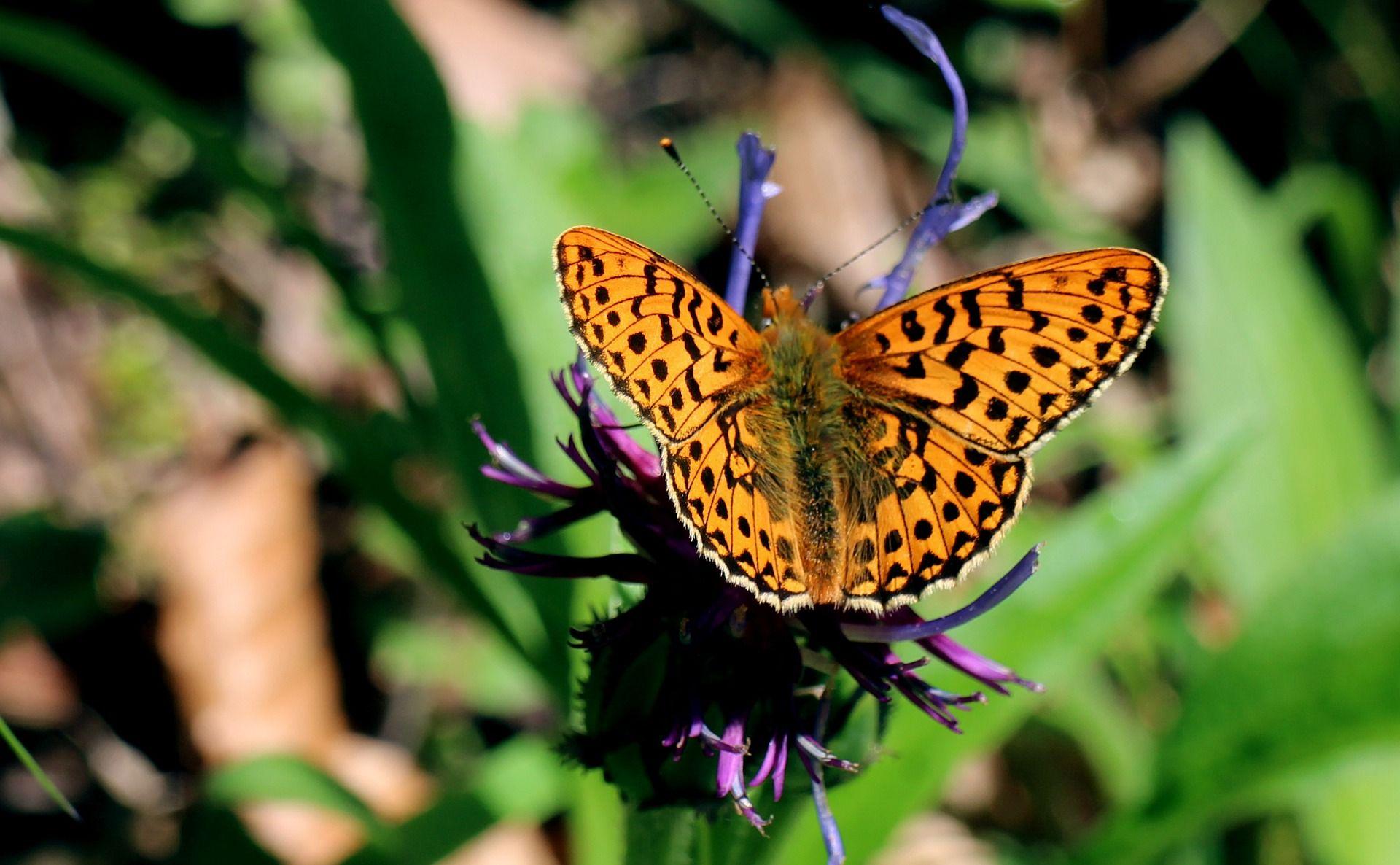 wetlands-mother-of-pearl-butterfly-342160_1920.jpg